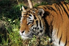 В Приморье ведут поиск амурского тигра, напавшего на собак