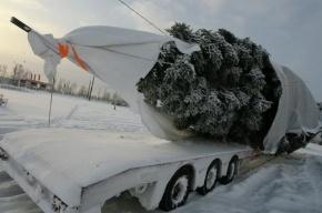 Губернаторы Петербурга и Ленобласти заплатили по 1000 рублей за живую елку для города