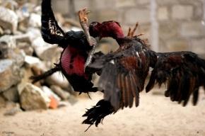 На Новом Арбате устраивали подпольные петушиные бои и тараканьи бега