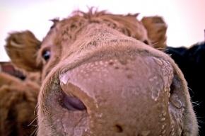 На российскую туристку на индийском пляже напала корова
