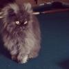 Фоторепортаж: «Полковник Мяу, самый длинношерстный кот в мире»