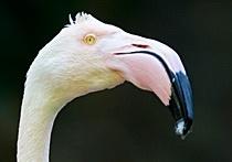 В Австралии усыпили самого старого фламинго в мире: Фото