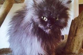 Полковник Мяу, самый длинношерстный кот в мире, скончался в США