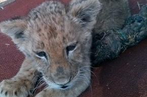 В поезде «Невский экспресс» обнаружили львенка