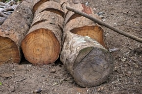 Упавшее дерево убило семиклассника в Ленобласти