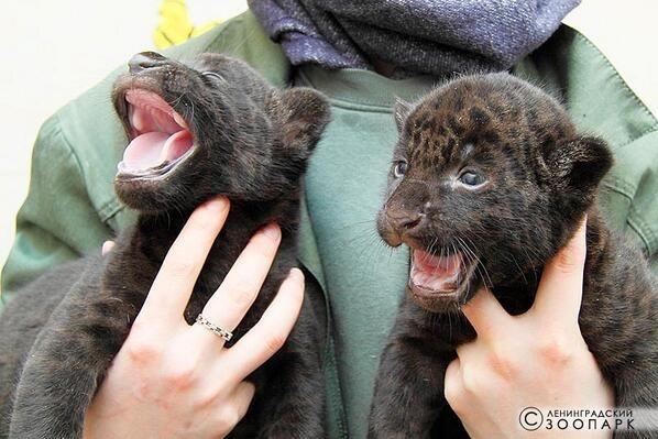 В Ленинградском зоопарке ягуарам дали имена «Тито» и «Атау»: Фото
