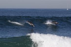 На побережье Перу погибли около 500 дельфинов