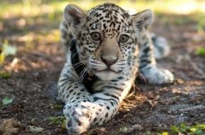 В Ленинградском зоопарке родились детеныши ягуара