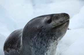 В Австралии усыпили единственного морского леопарда, жившего в зоопарке