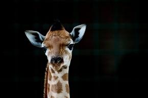 В Копенгагенском зоопарке из пистолета застрелили жирафа Мариуса