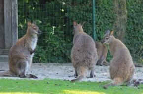 В калининградском зоопарке стая бродячих собак загрызла пять кенгуру