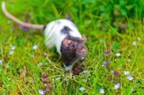 Ученые считают, что в будущем Землю захватят гигантские крысы