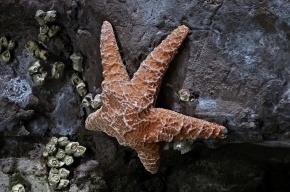 Морских звезд поразила эпидемия, разрывающая их на части