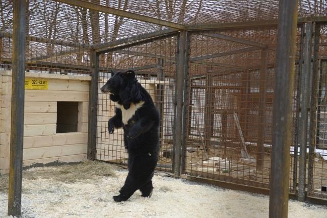 Медведи в Рапполово: Фото