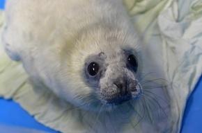 В Петербурге спасли двух детенышей серого тюленя