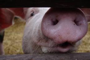 Британская армия для испытания бронежилетов взорвала 115 свиней