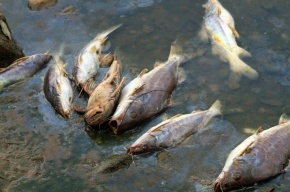 В реке Славянке из-за сброса химикатов погибла рыба