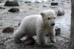 В Ленинградском зоопарке показали детеныша белого медведя