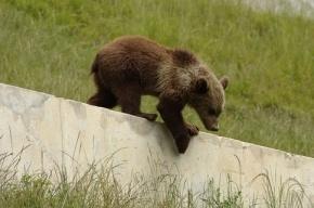 Сотрудники зоопарка в Швейцарии усыпили трехмесячного медвежонка