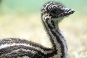 В Ленинградском зоопарке родились птенцы эму и детеныши анаконды