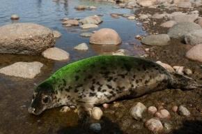 В центре Петербурга из Невы достали тюлененка
