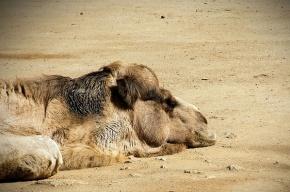Россиянам не советуют ездить в страны, где свирепствует верблюжий вирус
