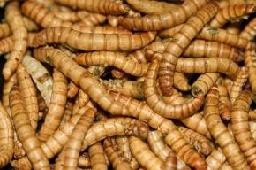 Китайские космонавты могут питаться червями