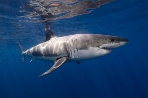 Ученые открыли новый вид полярных акул у Земли Франца-Иосифа