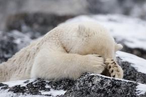 Из-за глобального потепления белые медведи перешли на морскую капусту