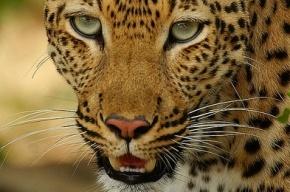 Леопард напал на женщину и трехлетнего ребенка в цирке Подмосковья
