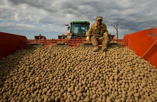 Россельхознадзор запретил ввоз украинского картофеля