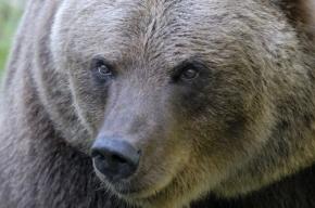 В Ростовской области медведь откусил руку пятилетней девочке