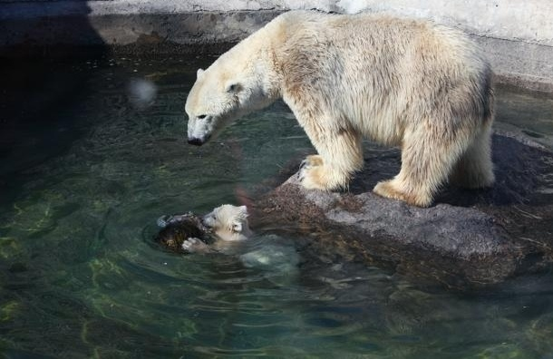 Ленинградский зоопарк ищет имя для белого медвежонка