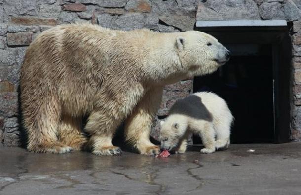 Белого медвежонка из Ленинградского зоопарка назвали Забавой