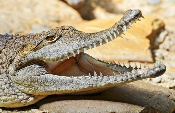 Крокодилов обвинили в незаконном захвате территории на Крестовском острове