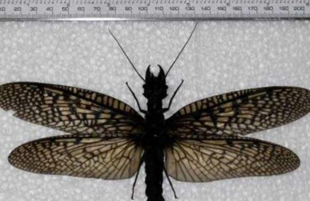 В Китае обнаружено самое крупное в мире водное насекомое