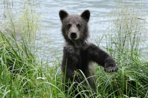 В зоопарке Караганды медвежонка скормили ягуарам