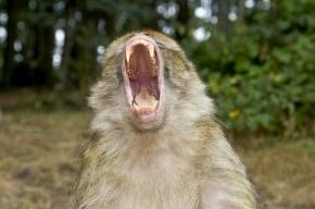 Цирковая обезьяна напала на прохожих в Нижневартовске