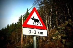В Ленобласти водитель иномарки погиб, столкнувшись с лосем