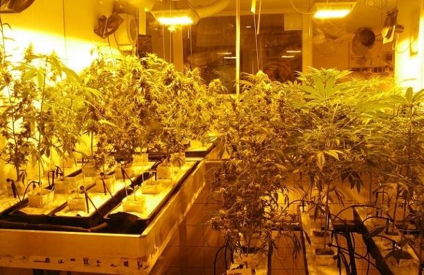 В суд направлено дело владельцев плантации марихуаны на Полюстровском