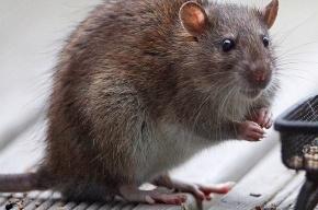 Огромные крысы в метро Нью-Йорка не боятся людей