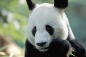 В китайском зоопарке панда притворялась беременной ради булочек и фруктов