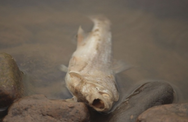 Прокуратура проверит массовую гибель рыбы в Охтинском водохранилище
