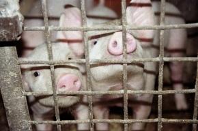 В Петербурге угнали КамАЗ со свининой на 3 млн рублей
