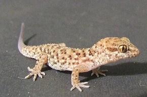 На биоспутнике «Фотон-М» погибли все гекконы