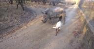 Детеныш носорога подружился с ягненком в ЮАР: Фоторепортаж
