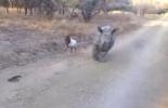 Фоторепортаж: «Детеныш носорога подружился с ягненком в ЮАР»
