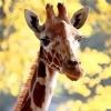В Ленинградском зоопарке отметили день рождения жирафа-долгожителя: Фоторепортаж