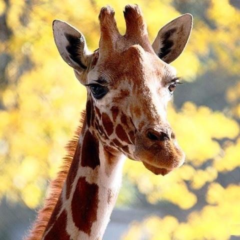 В Ленинградском зоопарке отметили день рождения жирафа-долгожителя: Фото
