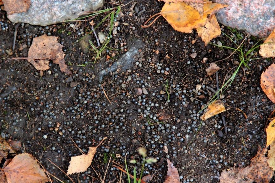 Вся почва усеяна металлическими шариками